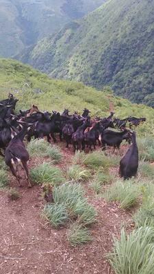 云南省红河哈尼族彝族自治州建水县黑山羊 50-80斤