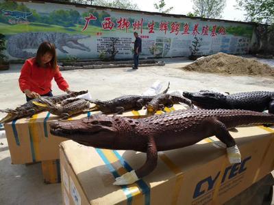 广西壮族自治区柳州市柳北区鳄鱼罐头 12-18个月
