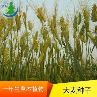 江苏省宿迁市沭阳县大麦种子