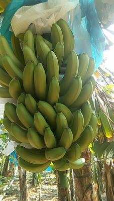 云南省红河哈尼族彝族自治州元阳县威廉斯香蕉 七成熟 40 - 50斤