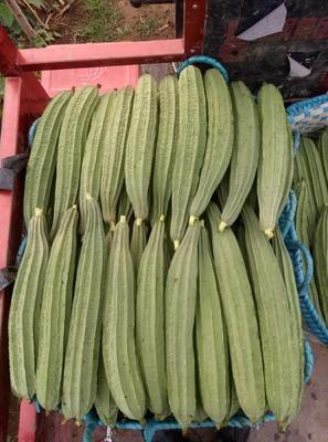 广西壮族自治区北海市银海区棱丝瓜 30cm以上