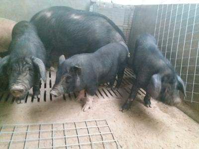 山东省菏泽市郓城县生态野猪 20-30斤 统货