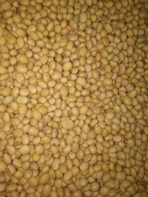 河南省周口市项城市中黄13黄豆 生大豆 1等品