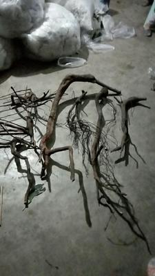四川省宜宾市高县金弹子 2~4公分