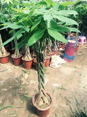 广东省广州市萝岗区盆栽发财树