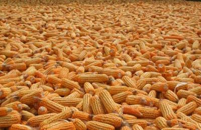 辽宁省朝阳市建平县玉米干粮 霉变≤1% 杂质很少