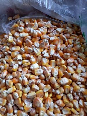 黑龙江省齐齐哈尔市克东县玉米干粮 霉变≤2% 净货