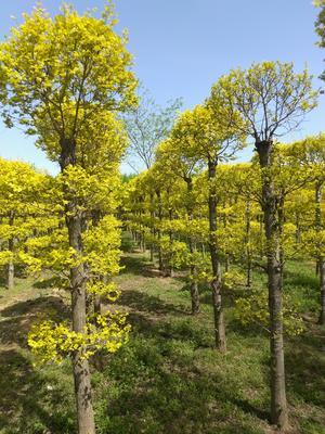 河北省保定市博野县造型金叶榆
