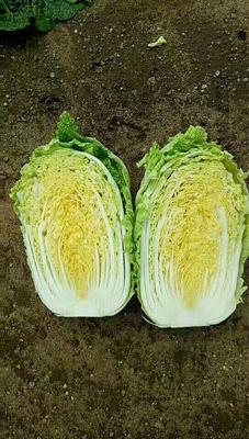 河北省保定市定州市阳春白菜 3~6斤 净菜
