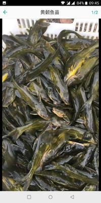重庆潼南县池塘黄颡鱼 野生 0.1龙8国际官网官方网站