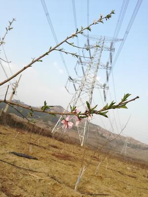 山东省淄博市博山区映霜红蜜桃 45mm以上 4两以上