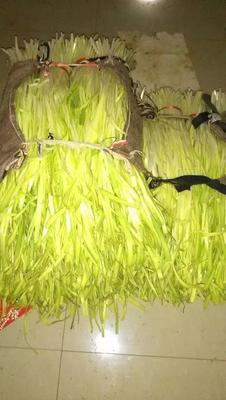 云南省红河哈尼族彝族自治州弥勒市云南韭黄 二茬 50~60cm