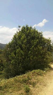 云南省普洱市景谷傣族彝族自治县百年古树茶 散装 特级