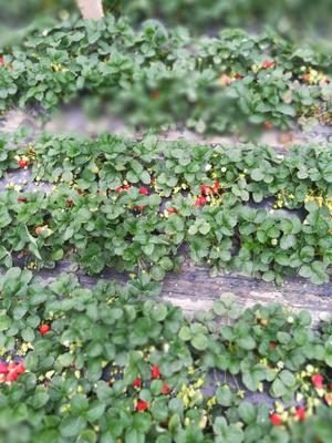 山东省临沂市莒南县拉松6号草莓 20克以上