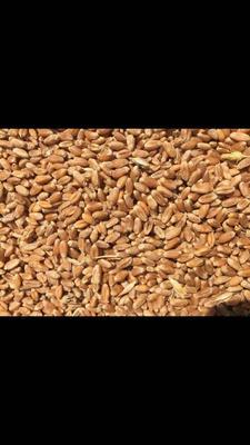 天津宝坻区红小麦
