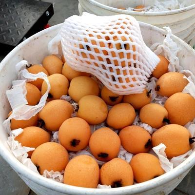 四川省雅安市汉源县大五星枇杷 0.4 - 0.7两