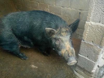 河北省邢台市沙河市改良野猪 200-300斤 统货
