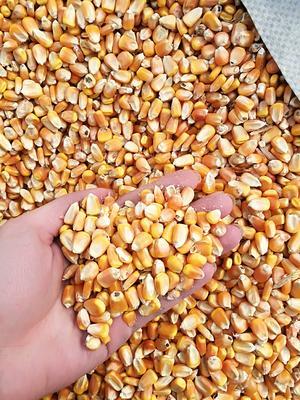 吉林省长春市朝阳区玉米干粮 霉变≤1% 杂质很少