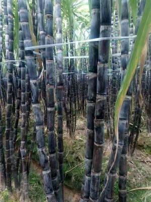 广西壮族自治区玉林市博白县黑皮甘蔗 3m以上 4 - 5cm