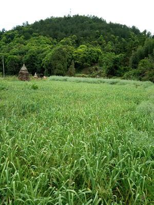 贵州省黔南布依族苗族自治州三都水族自治县四季蒜苗 40 - 45cm