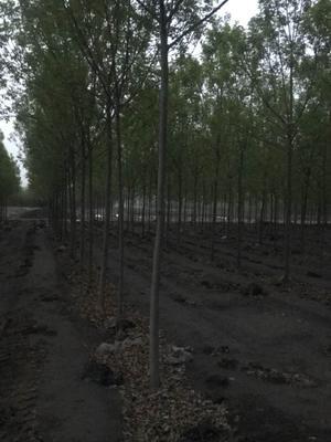 山东省菏泽市牡丹区速生白蜡 3.5~5米