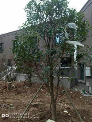 四川省眉山市东坡区八月桂