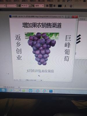 浙江省宁波市慈溪市巨峰葡萄 5%以下 1次果 1.5- 2斤