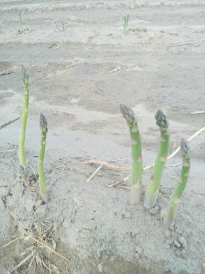 河北省石家庄市无极县绿芦笋 28cm以上 5mm以上