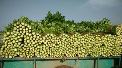 河北省邯郸市永年县法国皇后芹菜 70.0cm 大棚种植 0.5~1.0斤