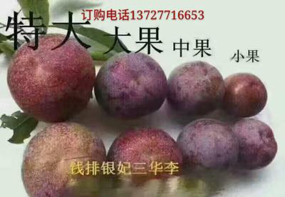 广东省茂名市信宜市钱排三华李 45mm以上 1.0两