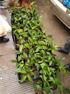 云南省楚雄彝族自治州双柏县云南野生树甜菜 15cm以上