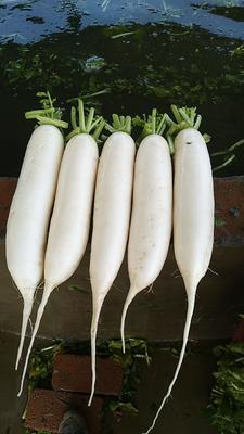 四川省遂宁市蓬溪县白萝卜 1~1.5斤