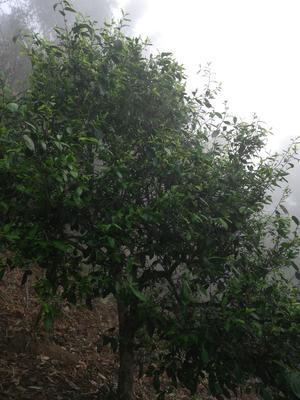 云南省西双版纳傣族自治州勐海县广别老寨古树大叶种 散装 特级