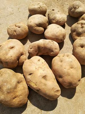 山西省忻州市五台县荷兰14土豆 5两以上