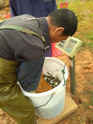 江西省吉安市泰和县各种鱼苗 人工养殖 0.1龙8国际官网官方网站