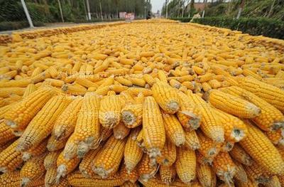黑龙江省哈尔滨市宾县玉米干粮 霉变≤1% 净货