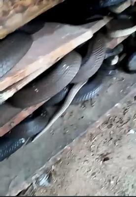 广西壮族自治区贵港市桂平市蛇 人工养殖 2.5-3公斤