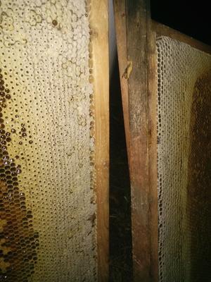 广西壮族自治区钦州市灵山县中华蜜蜂