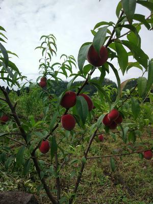 贵州省毕节市金沙县美国嘉州红桃 45mm以上 2 - 3两