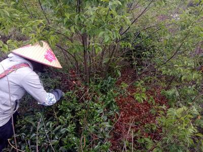 云南省普洱市景东彝族自治县普洱生态茶 袋装 一级