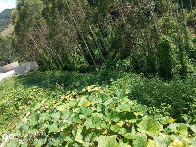 广西壮族自治区百色市平果县广西平果香猪 60斤以上
