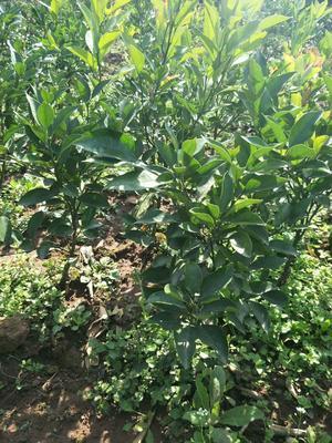 四川省遂宁市大英县柑树苗 0.5米以下