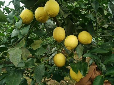 四川省成都市锦江区安岳柠檬 1.6 - 2两