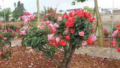 云南省红河哈尼族彝族自治州弥勒市四季玫瑰
