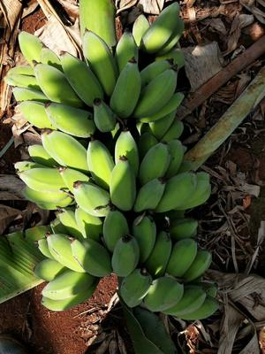 广东省湛江市徐闻县广东香蕉2号 七成熟 40斤以下