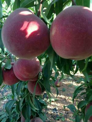 黑桃苗 0.5~1米