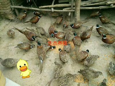 山东省滨州市滨城区七彩山鸡 1-2斤