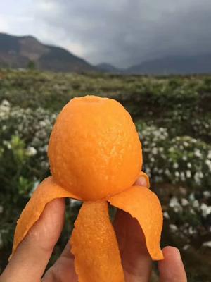 四川省攀枝花市米易县米易枇杷 0.7 - 1两