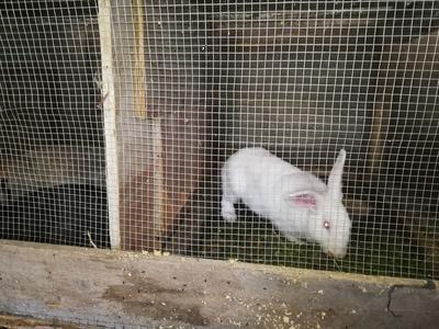 广西壮族自治区贺州市昭平县肉兔 5斤以上