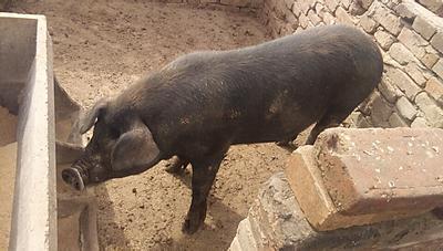 河北省邢台市沙河市黑毛山猪 160-200斤